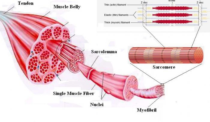 THE MUSCULOSKELETAL SYSTEM – MUSCLE – NAPRAWELL